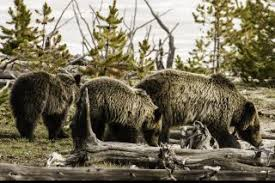 Grizzly Bear Classification Chart Grizzly Bear Facts Live Science