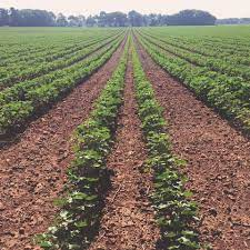 Red Land Cotton - Farming our renowned red soil is a labor of love. It  indelibly tints everything it touches, and turns to thick clay after a good  rain. Growing here means