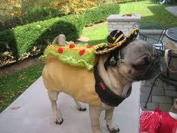 pug in taco costume. Contemporary Taco This Was The Taco Costume On Pug In Taco Costume T