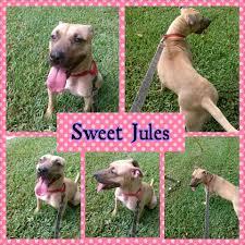 sweet jules 35 lb pitbull lab mix rescue in pompano fl