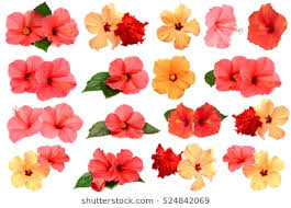 hibiscus flowers hibiscus flower images stock photos vectors shutterstock