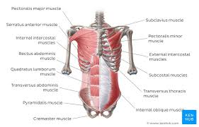 Stomach Muscle Chart Muscles Of The Trunk Anatomy Diagram Pictures Kenhub