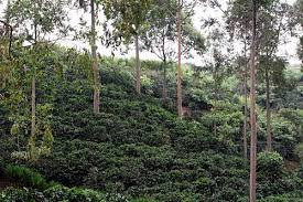 shade grown coffee plantation. Plain Grown Growing Coffee In Typical Fashion All Text U0026 Photos  Hilton Pond  Center To Shade Grown Coffee Plantation U