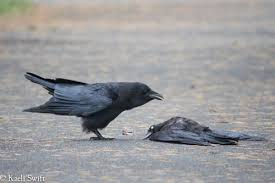 Crow Vending Machine Plans Delectable Being A Scientist