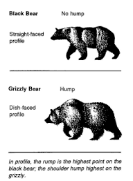 Bear Classification Chart Grizzly Bear