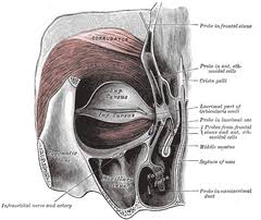 facial muscles anatomy and physiology essay medicine and health  orbicularis oculi