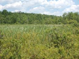 Image result for marsh sedge