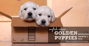 golden retriever newborn puppies. Modren Retriever English Cream Golden Retriever Puppies Growth And Development  Newborn To  8 Weeks Throughout R