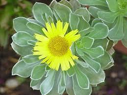 Asteriscus (plant) - Wikipedia