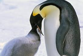 emperor penguins eating. Simple Eating Emperor Penguins Eat Squid Krill And Fish Their Food  In The Water Of Course Chicks Do Not Hunt For Themsleves Intended Eating M