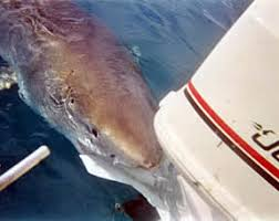 great white shark attacks boat. Interesting Shark Great White Shark Attacks Aussie Bait Boat U0027It Was Bloody Hugeu0027 Inside Boat