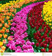 flowers for garden. Tulip Flowers Garden In Spring Background Or Pattern For