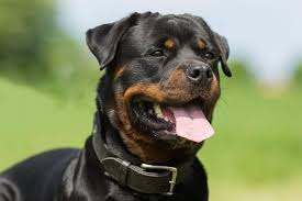 Rottweiler Size And Weight Chart How Big Do Rottweilers Get Plus Size Info For Rottweiler