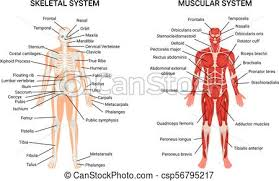 Human Muscular Skeletal Systems Poster