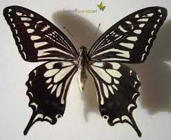 Asian black butterfly identification insect white