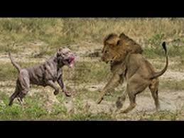 pitbull dog vs lion. Interesting Pitbull Pit Bull Vs Lion  FACTS Inside Pitbull Dog Vs YouTube