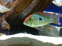 Small Picture 23 best Cichlids images on Pinterest African cichlids Aquarium