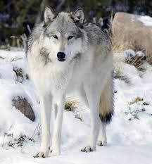 Wolf Body Language Chart Northwestern Wolf Facts Diet Habitat Pictures On