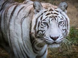 white tiger.  Tiger Cincinnati Zoou0027s Last White Tiger Popsy Dies At 22  WCPO Cincinnati OH For White Tiger