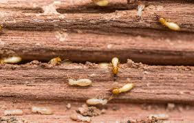 Image result for wood termite