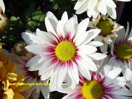 Image result for daisy