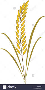 rice plant clipart. Plain Clipart Cereal Clipart Rice Plant Environmental Concept Vector Illustration Free Intended Rice Plant Clipart C