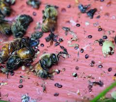 Beekeeping Solutions To Varroa Mites Quarto Knows Blog
