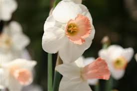 learngrow image of narcissus rose lake