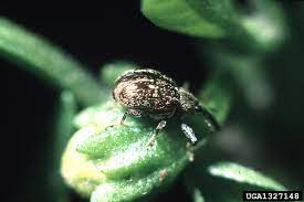 information on mon pepper plant bugs