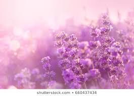 Purple Flowers Backgrounds 1000 Purple Flower Backgrounds Stock Images Photos