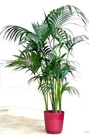 plants safe for cats majesty palm plant care for cat of house plants toxic to cats