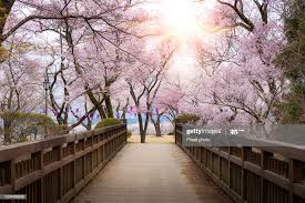 Japanese Cherry Blossoms In Full Bloom With Wooden Bridge Walkway In Kasuga  Park With Lantern During Spring Season In April In Nagano Japan High-Res  Stock Photo - Getty Images