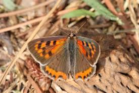 Image result for italian butterflies italy