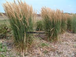 Tall Decorative Grass Similiar Types Of Tall Ornamental Grasses For Landscaping Keywords