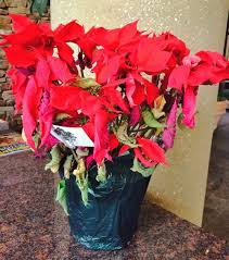 Poinsettias After Christmas - | Southern Living
