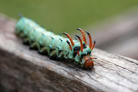 Yellow Caterpillar Identification Chart 10 Remarkable Caterpillars And What They Become Mnn