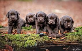 chocolate lab puppies wallpaper. Contemporary Chocolate Wallpapers ID883883 Intended Chocolate Lab Puppies Wallpaper A