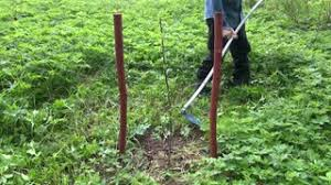 garden scythe. mowing with scythe spring grass in farm garden near young apple tree seedling stock video footage - videoblocks