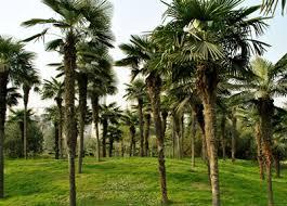 「棕櫚樹」的圖片搜尋結果