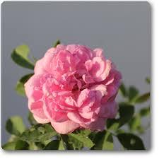 Fragrant Plum Rose  Grandiflora  Very Fragrant  Heirloom RosesFragrant Rose Plants
