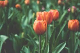 flowers depth of field plants tulips
