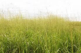 tall green grass field. Tall Grass In A Field Stock Photo Green