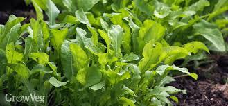 Arugula Companion Planting Chart Growing Arugula In Your Vegetable Garden