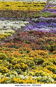 flowers in rainbow colors growing in rows as a crop with irrigation hoses along the