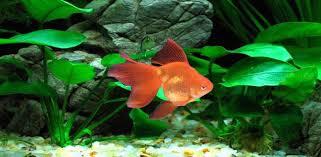 goldfish wallpaper desktop. Beautiful Goldfish Moving Veiltail Goldfish Wallpaper With Desktop