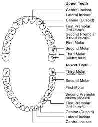 How To Count Teeth Chart How Many Teeth Do You Really Need Trailhead Dental