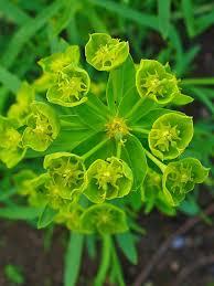 Euphorbia esula – Wikipédia, a enciclopédia livre