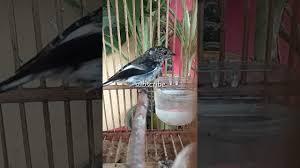 Untuk melihat detail lagu decu kembang ngeplong klik salah satu judul yang cocok. Decu Kembang Review Burung Decu Kembang Sikatan Belang Trotolan Jantan Youtube