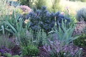 drought resistant garden. Iris, Heuchera, Salvias And Ceanothus. Drought Resistant Garden