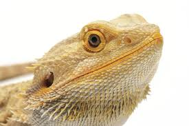 Bearded Dragon Nutrition Chart The Best Guide To Bearded Dragon Nutrition
